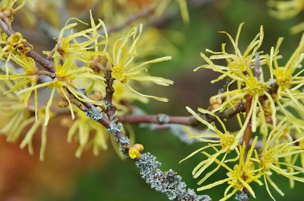Witch Hazel for Piles